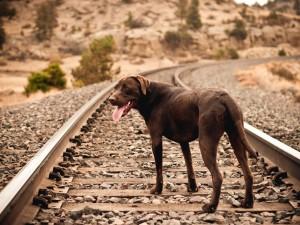 Perro en la vía del tren