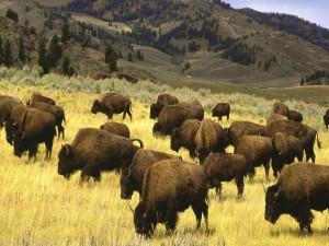 Manada de bisontes pastando