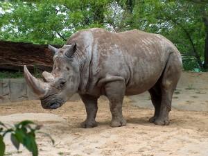 Rinoceronte viviendo en un zoo