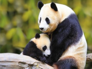 Osa panda cuidando de su osezno