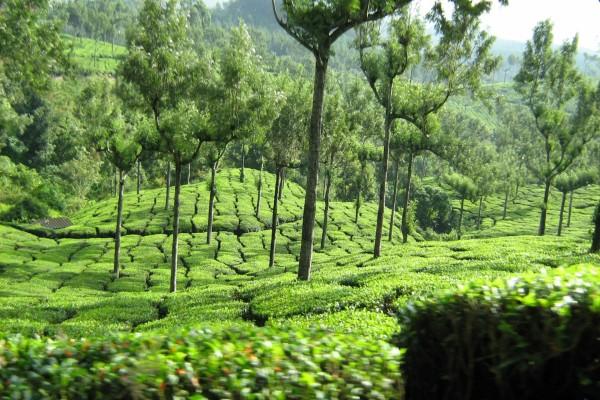 Árboles en una plantación de té