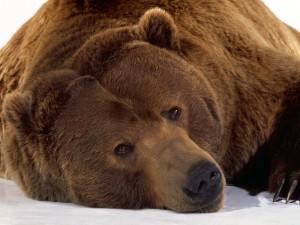 Un gran oso pardo descansando