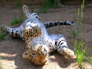 Leopardo tumbado panza arriba