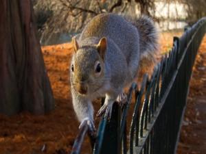 Ardilla corriendo sobre la valla de un parque