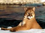 Puma sobre una fría capa de hielo