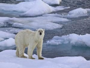 Oso polar sobre un bloque de hielo