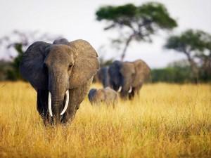 Familia de elefantes caminando por la sabana