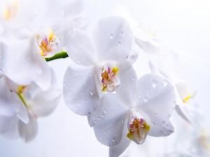 Gotas de agua sobre las orquídeas blancas