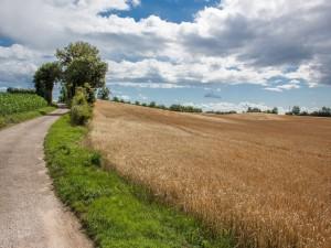 Camino a lo largo de un campo sembrado con trigo