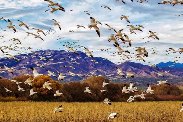 Una bandada de gansos volando sobre el campo