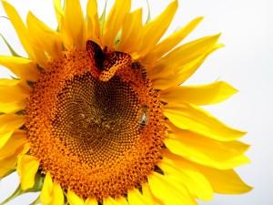 Mariposa y abeja posadas en un girasol