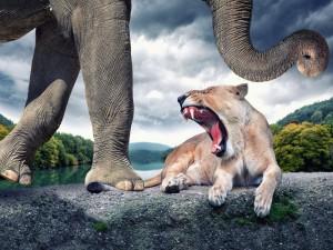 Leona rugiendo a un elefante que le pisó la cola