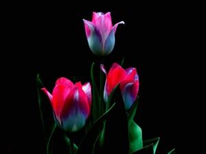 Tres tulipanes con sus hojas sobre un fondo negro