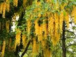 Espléndidas glicinas color amarillo colgando de la planta