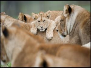 Cachorro de león entre un grupo de leonas