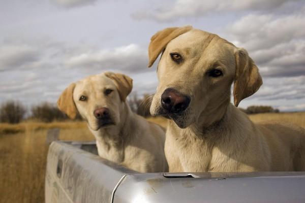 Dos perros en una camioneta