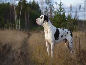 Un gran perro blanco con manchas negras
