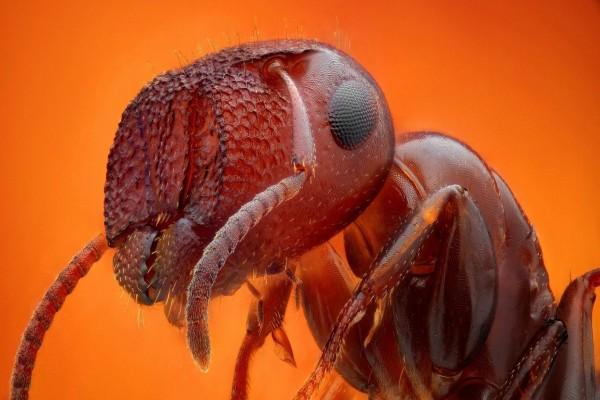 Hormiga en primer plano