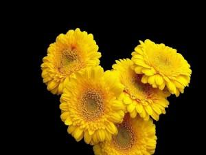 Gerberas amarillas en un fondo negro