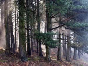 Niebla en un bosque de pinos