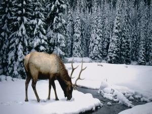 Ciervo escarbando en la nieve