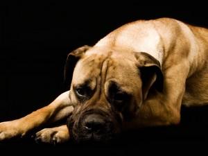 Un boxer cansado