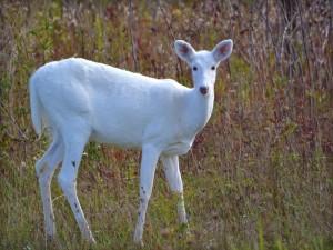 Un ciervo blanco