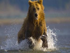 Un oso corriendo sobre el agua