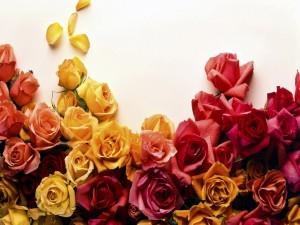 Maravillosas rosas en varios colores