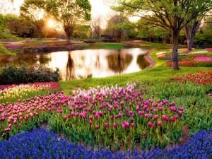 Bellos tulipanes junto un estanque