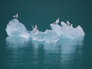 Gaviotas sobre un bloque de hielo