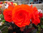 Hermosas flores de color naranja
