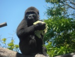 Pequeño gorila comiendo lechuga