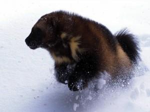 Gulo gulo corriendo en la nieve