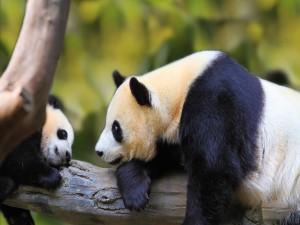 Osa panda observando a su pequeño
