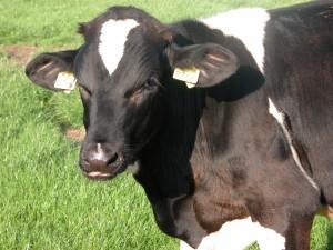 Una vaca blanca y negra