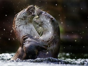 Dos nutrias peleando en el agua