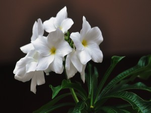 Flores blancas con sus hojas verdes