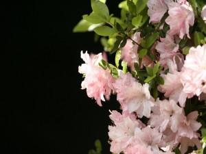 Sensacionales azaleas rosadas