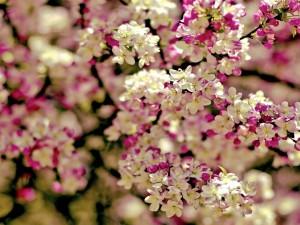 Pequeñas flores blancas y fucsias en las ramas de un árbol