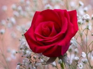 Florecillas blancas alrededor de una rosa roja