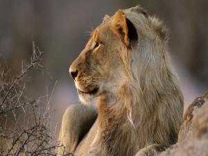 León descansando junto a una roca