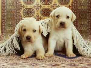 Dos cachorros bajo una alfombra