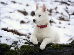 Un husky blanco descansando sobre un tronco