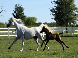 Potro marrón trotando junto a un caballo blanco