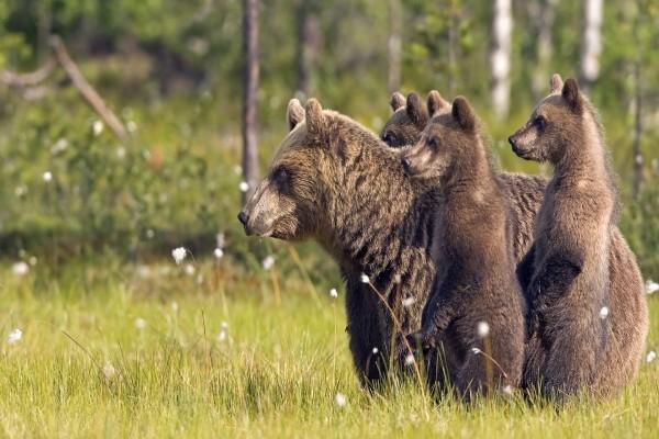 Familia de osos pardo