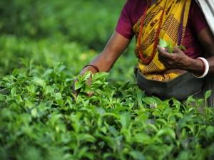 Mujer recogiendo hojas de té