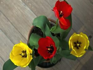 Tulipanes rojos y amarillos en una maceta
