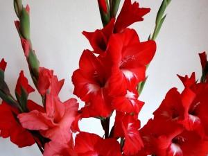 Gladiolos rojos