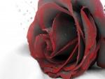 Rosa con ribetes rojos y gotas de rocío